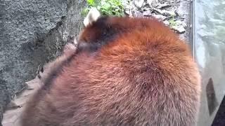 ズーラシアのレッサーパンダがすやすや昼寝してます☆彡お腹が上下してカ...