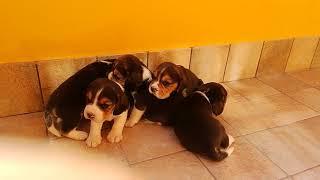 Disponibili cuccioli maschi e femmine figli del Ch.Alotorius Old Gl...