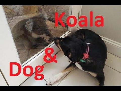 Koala and Dog Make Friends - Australian Kelpie