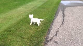 Westie Terrier Scratching Back