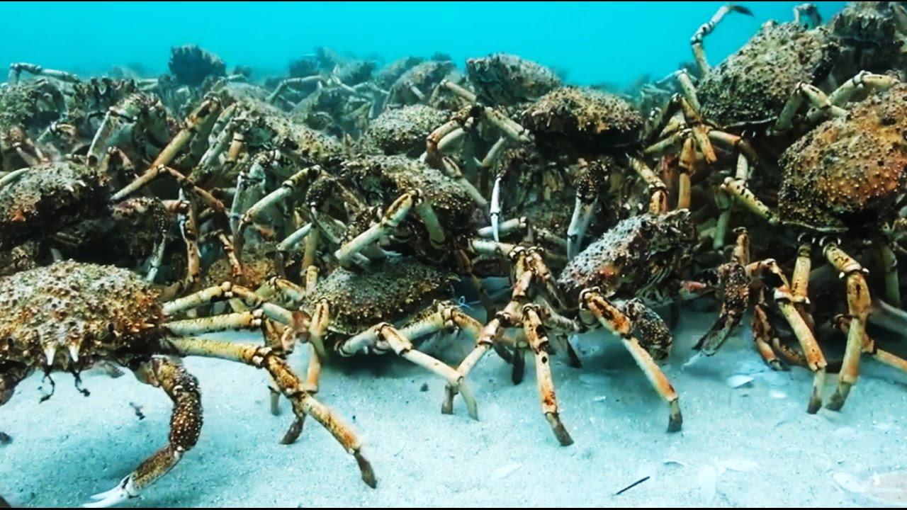 Crab spiders massive consolidation and predator araign e - Grand poisson de mer ...