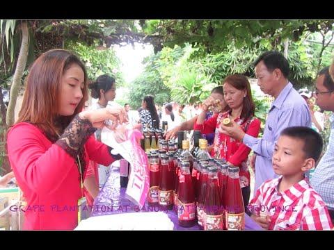 Grape Plantation at Battambang Province in Cambodia