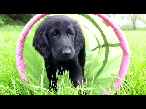 Summer Fun with Fishcreek Flat Coated Retrievers 2019