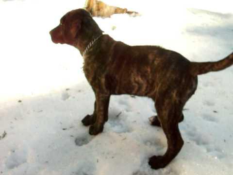 Black Rhodesian Ridgeback Puppy