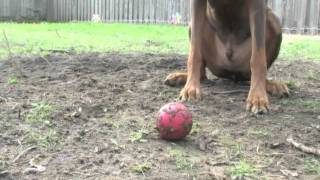 Zeus! The Red Doberman! ..and His Favorite Squeaky Toy!