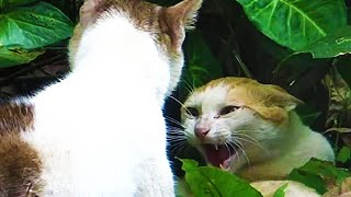 Close up video of angry cats fighting - Very loud cat fight meowing sounds