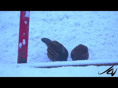 Snowing! March 8, 2018 -  more snow for Kelowna and the Okanagan  - YouTube
