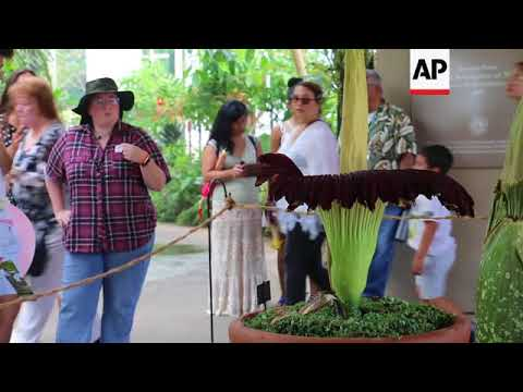Stinky 'Corpse Flower' In Full Bloom In Calif.