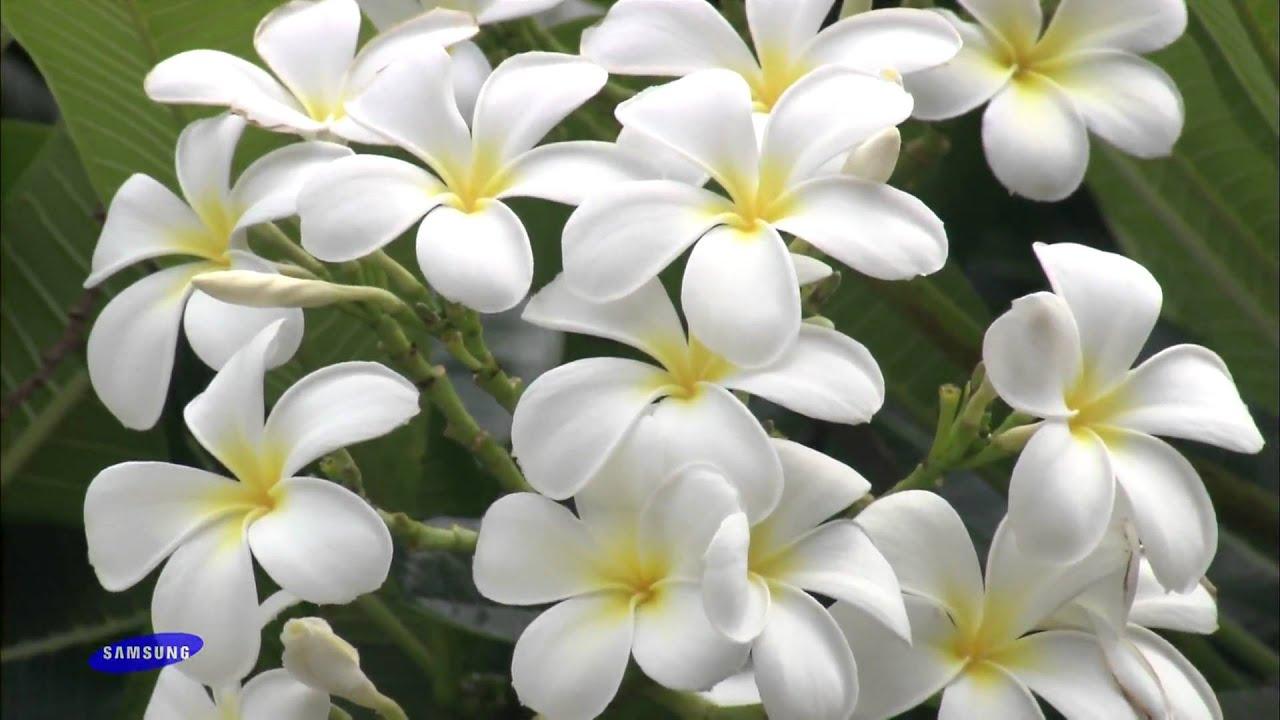 Samsung hd demo the beauty of nature flowers 1080p youtube izmirmasajfo
