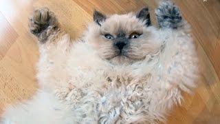 Наш котик SELKIRK REX - BLU POINT (Boy)