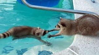 ТОП 5 Лучшие видео милаха енот!(TOP 5 Funny and Cute Raccoons Video. Funny Raccoon. ТОП 5 Лучшие видео с енотами. Прикольный енот. 1. Еноты плавают в бассейне. 2. Милы..., 2015-09-04T06:53:43.000Z)