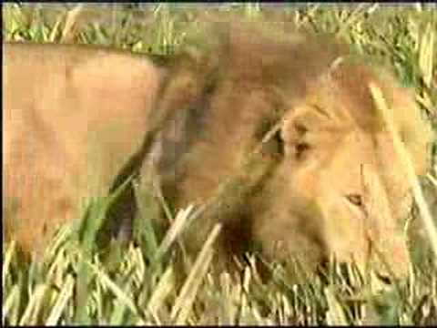 Lions Hunt and Lions kills Hyena