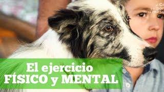 PERRO: La importancia del ejercicio físico y mental del Border Collie