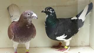 Gołębie  pocztowe przykładowe pary