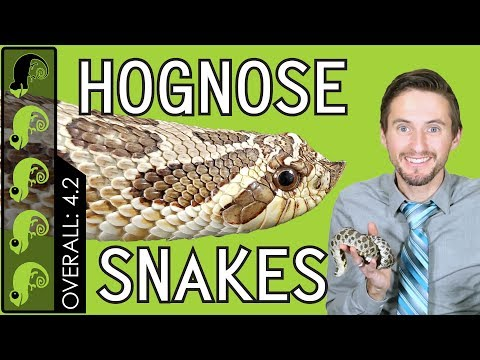 Western Hognose, The Best Pet Snake?