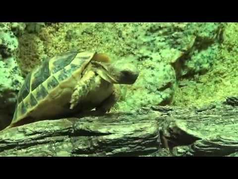 Kleinmann's Tortoise (Testudo kleinmanni) Prague Zoo צב יבשה מצרי