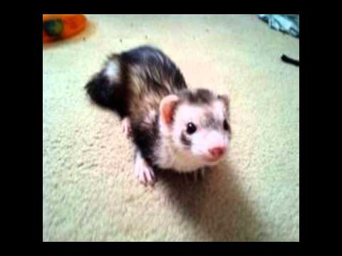 are black footed ferrets cuter than pet ferrets?.wmv