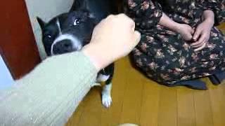 我が家のアルマンは噛み付き犬です。 彼のカミカミの様子を撮ってみまし...