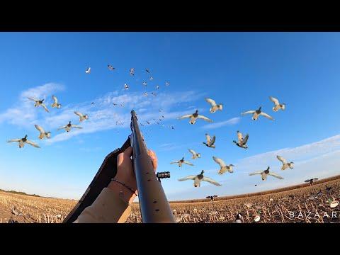Mallard Duck Hunting In a Cornfield! (THEY DID IT CLOSE)