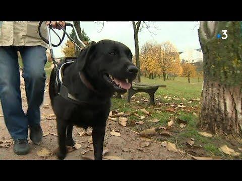 Clermont-Ferrand : Le Dévouement De Malice, Labrador Chien-guide D'aveugle
