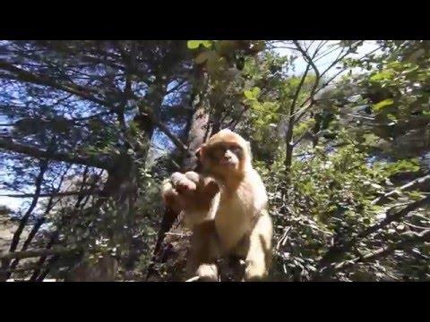 Ifrane Park Snow Monkeys (Short Version)