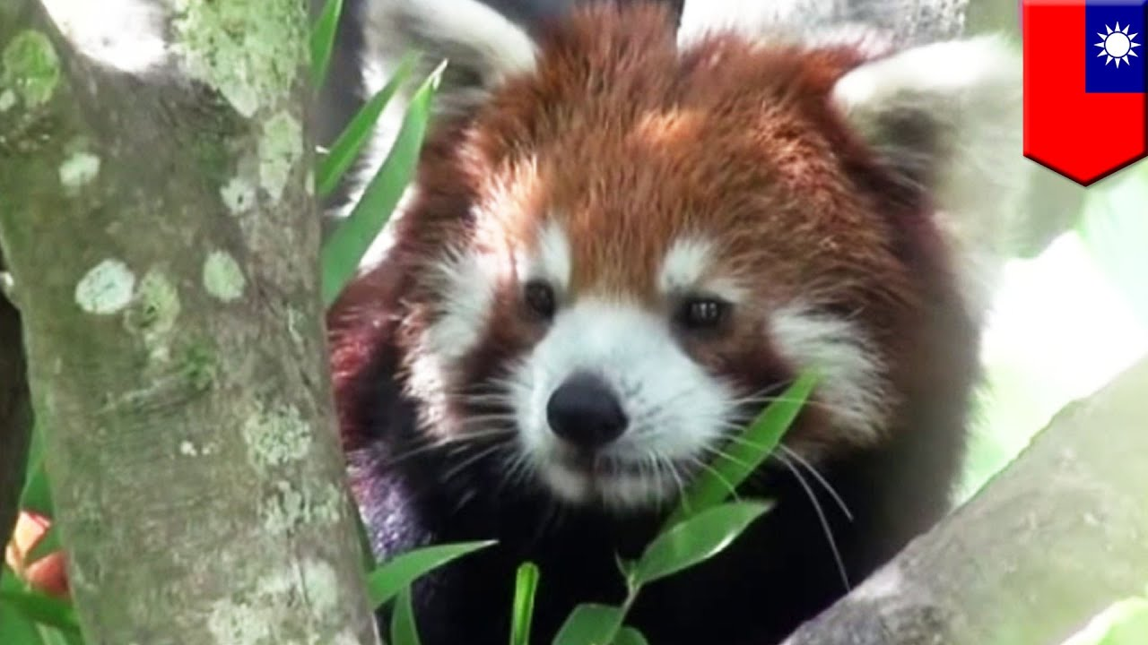 Images of baby red pandas