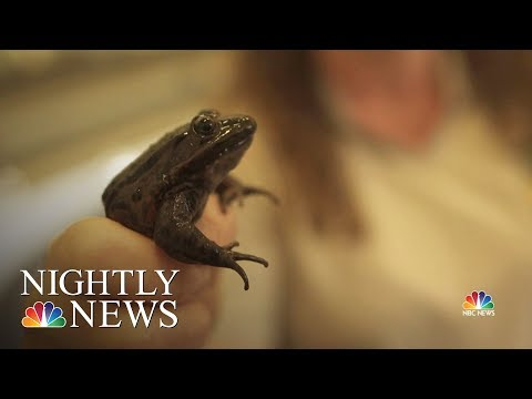 Biologists In California Are Bringing Back The Red-Legged Frog | NBC Nightly News