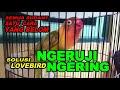 Cara Mengobati Lovebird Betina Ngeruji Dan Ngering Parah  Mp3 - Mp4 Download