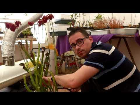 Poda de Sarracenia leucophylla ? Plantas Carnivoras en Zona