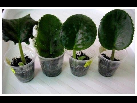 Как выращивать фиалки в домашних условиях из листа