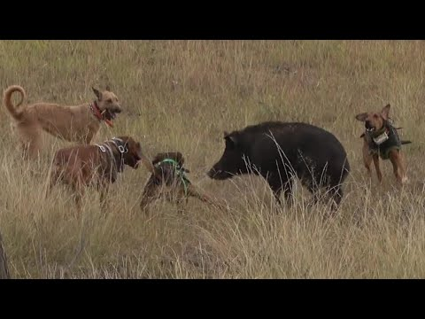 Another Boar Hunting Adventure