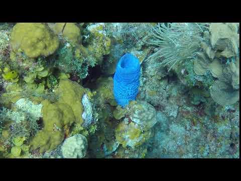 Blue Barrel Sponge
