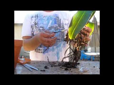 transplanting an orchid youtube. Black Bedroom Furniture Sets. Home Design Ideas