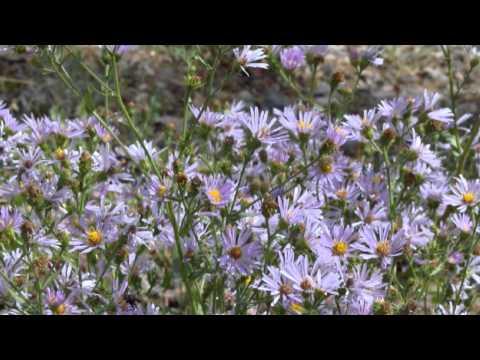 Wild Flowers in Glacier Park