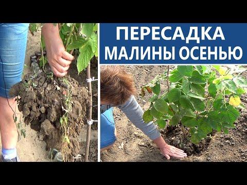 Малина осенью  Пересаживайте малину осенью вовремя и правильно | ремонтантной | правильно | посадить | посадка | малиной | сажать | осенью | малины | малину | уход