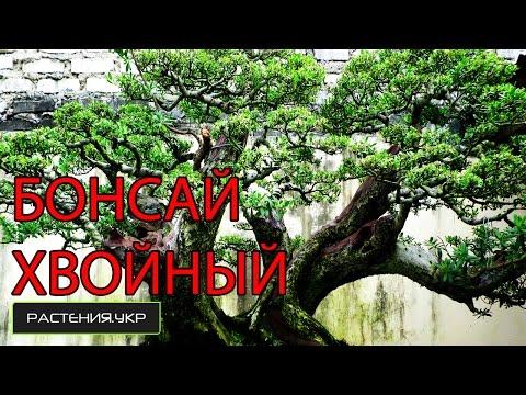 Большой хвойный бонсай / дерево бонсай / хвойные растения