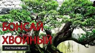 Большой хвойный бонсай / дерево бонсай / хвойные растения(, 2015-05-03T21:25:26.000Z)