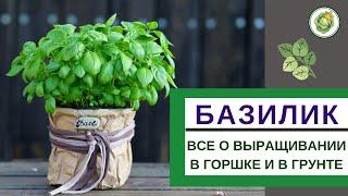 БАЗИЛИК - секреты выращивания на подоконнике и на огороде//от рассады до сбора урожая