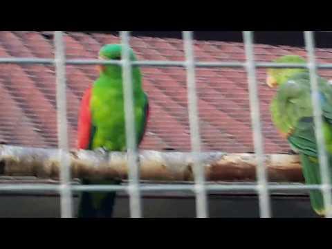 Краснокрылый попугай red-winged parrot