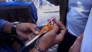 Video GT-HB #1: Harga Burung Bakalan di Pasar Burung Yogya Traditional Bird Market - Pasty download MP3, 3GP, MP4, WEBM, AVI, FLV Agustus 2017