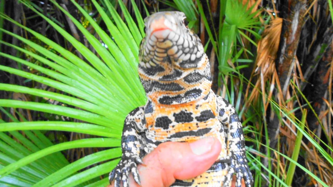 Chaco with a fire belly? | Tegu Talk