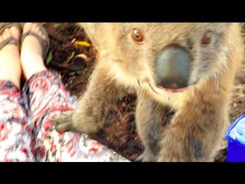 Koala Wants A Cuddle