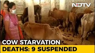 173 Cows Deaths Allegedly In A Week In Chattisgarh, 9 Officials Suspended