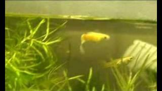 guppy poisson exotique aquarium mennecy