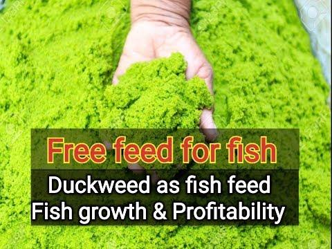 Carp Fish Farming , Free Feed For Fish
