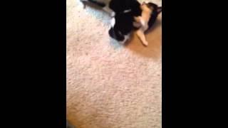 Video Of Adoptable Pet Named Shih Tzu Pomeranian Mixes Coming Soon