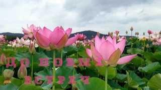 ЛОТОС - цветок богов, цветок благородства и чистоты помыслов. В Приморье - цветут лотосы