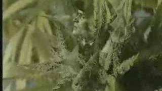 grow more weed 2nd video