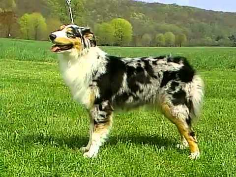 Australian Shepherd - AKC Dog Breed Series