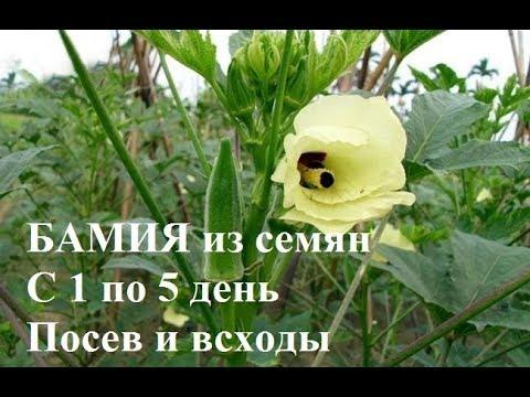 Бамия из семян. С 1 по 5 день. Посев и всходы.
